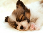 sleeping papillon puppy