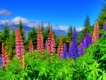 LUPINS from NEW-ZEALND