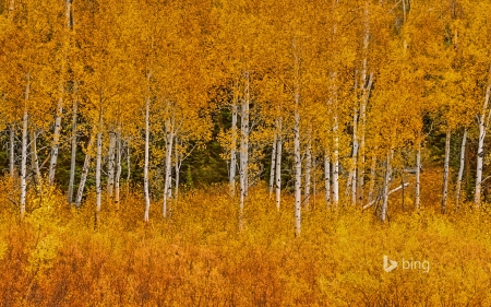 Autumn aspens in Grand Teton National Park Wyoming - grand, Autumn, in, aspens