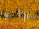 Autumn aspens in Grand Teton National Park Wyoming