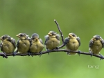 Blue tit chicks fledging on a branch