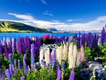 MULTI COLORED LUPIN FLOWERS