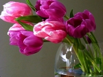 Beautiful tulips for Fireangls4