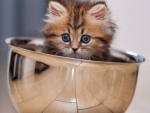 Young Persian Kitten in Steel Bowl