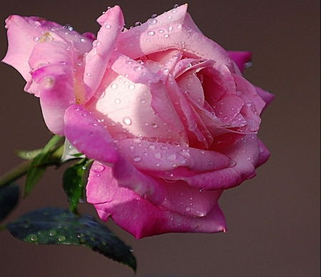 beautiful pink rose  flowers  nature background wallpapers on, Beautiful flower