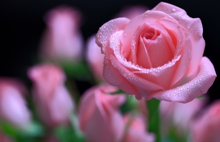 Lovey Pink Rose Wet