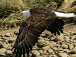Bald Eagle in a Low Level Flight