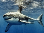 Great White Shark f1