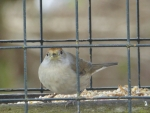 Female Blackcap