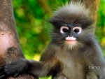Dusky leaf monkey Khao Sam Roi Yot National Park Thailand