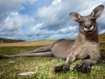 Eastern gray kangaroo in Murramarang National Park New South Wales Australia