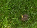 Baby Bird in the Grass