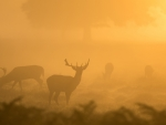 Deers in the Mist
