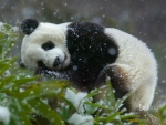 Giant panda cub (Ailuropoda melanoleuca) Wolong National Nature Reserve in Sichuan Province China