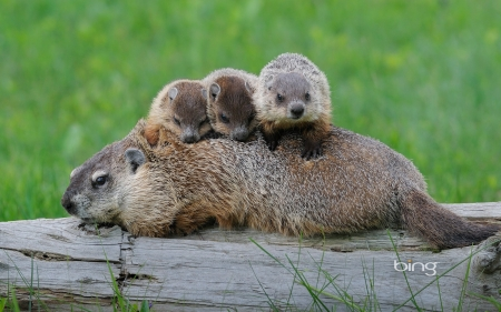 Ground Hog Mom With Babies