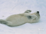 Harp seal pup at the Gulf of St Lawrence Canada