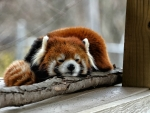 Napping Red Panda Bear