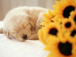 Puppy and Sunflower