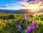 LUPINE FLOWER FIELDS