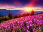 Mountain wildflowers at sunset