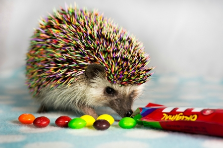 rainbow hedgehog   funny skittles arici candy cute hedgehog