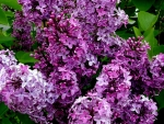 purple lilacs forever