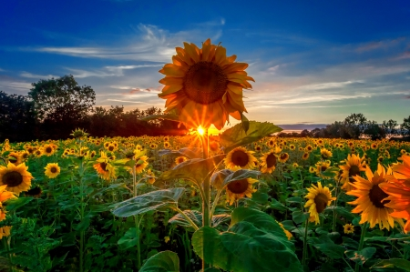sunflowers field at sunrise fields amp nature background