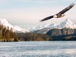 Bald Eagle Flying Over Kachemak Bay, Alaska