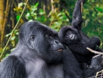 Male Silverback from Kwitonda Group with younger gorilla in Volcanoes National Park Rwanda