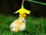 A chick with a fancy hat