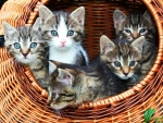 Basket of Kitten