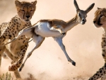 two cheetahs hunting a gazelle
