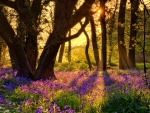 Forest bluebells at sunrise