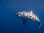 Great White Shark!