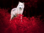 White Wolf at Night