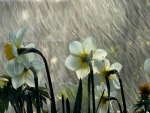 daffodils on rain