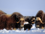 Muskox (Ovibos moschatus) bull cow and calf on the central Arctic coastal plain North Slope of the Brooks Range Alaska)