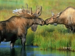 Pair of moose near Wonder Lake in Denali National Park Alaska