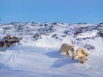 Polar bear cubs playing Hudson Bay Canada
