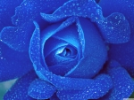 Freshness of a blue rose