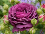 Purple Rose and Buds