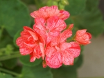 Geranium(Single New Life)