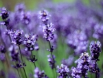 Lavender ...for you