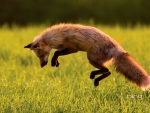 Red Fox hunting on Prince Edward Island Canada