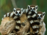 Ring tailed lemurs at Berenty Reserve in Madagasca