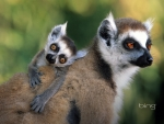 Close up of a ring tailed lemur with its offspring