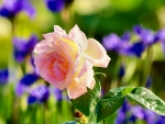 Pink Rose Among Irises
