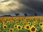 Sunflowers at Windy Station farm in Quirindi New South Wales Australia