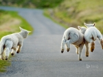 Three lambs frolicking in Christchurch New Zealand