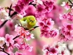 Green Bird in Cherry Blossoms f